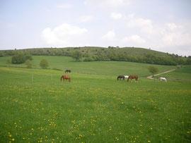 Die Pferde auf der Weide (im Hintergrund das Naturschutzgebiet)