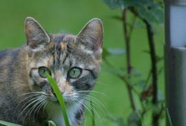 Die dreifarbige Glücksatze Pauline ist eine große Mäusefängerin und meine kleine Wildkatze. Zu meinem großen Kummer ist sie verschwunden.
