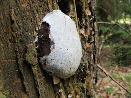 Enteridium lycoperdon (Bild 2/2)