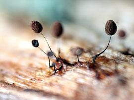 Comatricha nigra findet man auf Laub-und Nadelholz ganzjährig,besonders aber im Frühjahr.