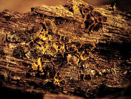 Perichaena depressa - Gefunden an der Unterseite einer Laubholzrinde.Wahrscheinlich nicht häufig.