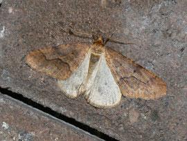 Erannis defoliaria (Grosser Frostspanner) / CH BE Brienzersee 570 m, 06. 11.2011