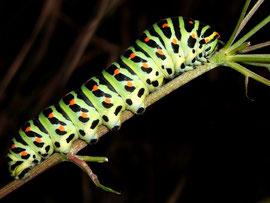 Papilio machaon (Schwalbenschwanz)