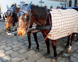 Fiaker Pferde