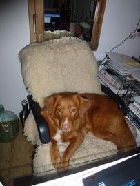 Hier Nita im Arbeitszimmer. Sie liegt sehr gerne auf meinem Schreibtischstuhl