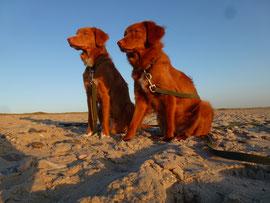 """Nova Scotia Duck Tolling Retriever Nita und Sitka """"Meine beiden schönen Schnuten in der Abendsonne"""""""