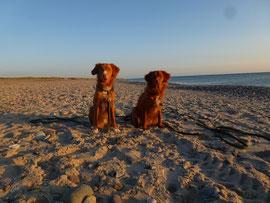 Schöne Hunde in schöner Abendsonne