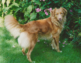 Nova Scotia Duck Tolling Retriever Shaggy Toller ´s Joyful Jade