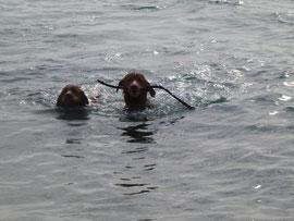 Zu finden gab es immer etwas! Hier beide Schnuten auf dem Rückweg aus dem Wasser.
