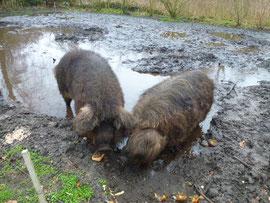 Wollschweine in Riesensuhle