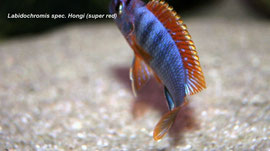 Labidochromis spec. Hongi super red