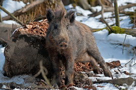 Wildschwein Jungtier