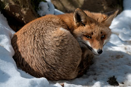 Fuchs 3