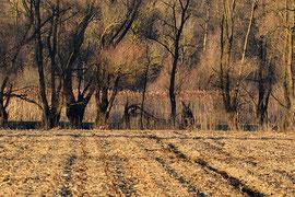Due volpi in un campo