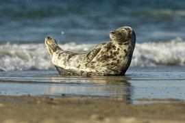 Seehund (Phoca vitulina) bei den Seehundbänken