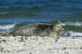 Seehund im Sonnenbad