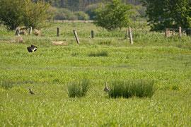 Ein Kiebitz greift einen Großen Brachvogel an