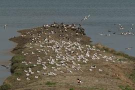 Wssservögel in großer Zahl