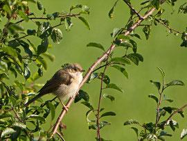 Junge Dorngrasmücke