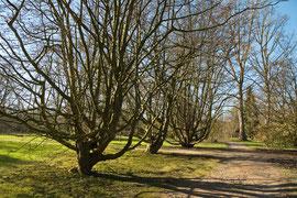 Persische Eisenholzbäume