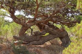 Kiefer auf Karpathos (Griechenland)
