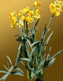 水仙 daffodil  297 x 420 mm                    ©Masanori Omae
