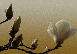 木蓮 magnolia  297 x 420 mm                    ©Masanori Omae