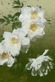 牡丹 Paeonia suffruticosa 297 x 420 mm             ©Masanori Omae