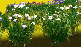 菖蒲図(右部分) iris 900 x 3000 mm               ©Masanori Omae