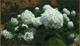 あじさい(紫陽花)hydrangea 200 x 350 mm