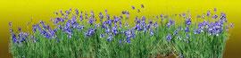 あやめ iris  600 x 2400 mm                    ©Masanori Omae