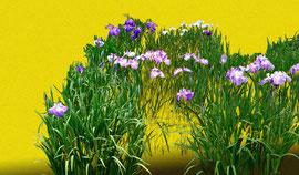菖蒲図(左部分) iris 900 x 3000 mm               ©Masanori Omae