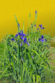 あやめ2 iris 2  297 x 420 mm                   ©Masanori Omae