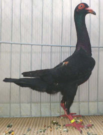 Femelle noire Jacky Poncelet