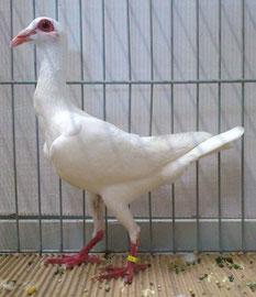Mâle Blanc Gaston Harter