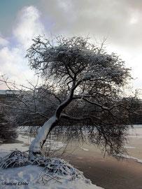 Verschneiter Baum an der zugefrorenen Binnenalster