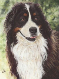 """Krümel"", Bernese Mountain Dog, pastel on pastelmat, 29 x 39 cm, commission"