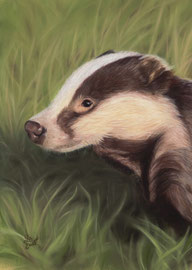 badger, pastel on pastelmat, 20 x 30 cm, reference photo SueWilliams@wildlifereferencephotos; SOLD