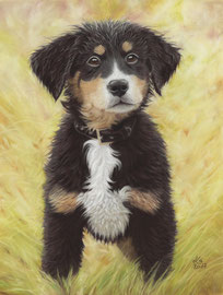 """Enni"", Bernese Mountain Dog puppy, pastel on pastelmat, 30 x 40 cm, commission"
