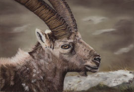 350 €  Ibex, pastel on pastelmat, 27 x 39 cm, reference photo Fulvio Spada