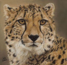 Cheetah, pastel on pastelmat, 29 x 29 cm, reference photo Angelo Rose, commission