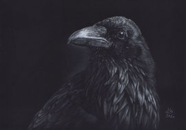 raven, white charcoal- and pastelpencils on Fabriano Black paper, 20 x 30 cm, reference photo Reb Kilde; SOLD