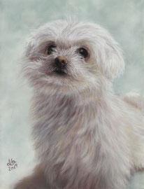 """Gini"", Maltese Dog, pastel on pastelmat, 20 x 28 cm, commission"