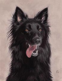"""""""Emma"""", Groenendaehl (Belgian Shepherd), pastel on pastelmat, 30 x 40 cm, commission"""