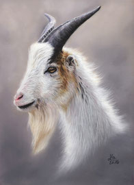 goat, pastell on pastelmat, 21 x 29 cm, reference photo Suzanne Wallick; SOLD