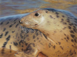 "Grey Seal,  pastell on pastelmat, 29 x 39 cm, reference photo Kev Chapman; honourable mentions at PGE's ""Get Dusty"" , 10/2016"