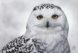 "Snowy owl ""Hedwig"", pastel on pastelmat, 20 x 29 cm, reference photo Menno Koops, wildlifereferencephotos"