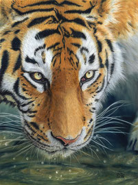 "Amur Tiger, pastell on pastelmat, 29 x 39 cm, reference photo Emmanuel Keller@wildlifereferencephotos; Winner of PGE's ""Get Dusty"" , 10/2016; SOLD!"