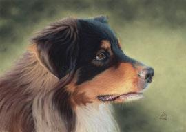 """Lucky"", Australian Shepherd, pastel on pastelmat, 30 x 40 cm, commission"