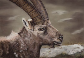 Ibex, pastel on pastelmat, 27 x 39 cm, reference photo Fulvio Spada